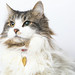A218990 -- Queenie -- white brown tabby LH