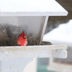 067. Cardinal (Misty Garrick) Tags: arboretum universityofminnesotalandscapearboretum landscapearboretum flowershow bird birds birding