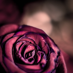 Waning rose i (Niaic) Tags: rose roses flowers flower macro closeup close wane waning decay decaying ageing beauty beautiful valentine valentines romance love zeiss loxia extensiontube stylised stylise flora floral vivid vibrant former dignity dignified bouquet sony a7ii stilllife zeissloxia250