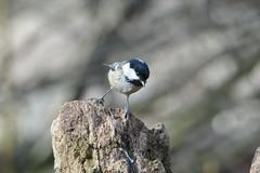 Coal Tit (hedgehoggarden1) Tags: coaltit birds rspb wildlife nature creature animal sonycybershot lackfordlakes suffolk eastanglia uk suffolkwildlifetrust sony