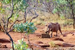 Warthog enjoying a snack (In Expore) (Johann (Still Me!)) Tags: warthog vlakvark johanndejager ef100400mmf4556lisusm canoneos5dmarkiv southafrica simplysuperb