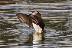 Anatra Mandarina 59 (simonealbini) Tags: anantramandarina ticino maddalena sommalombaerdo sigma150600c sonya7iii uccello acqua fiume italia
