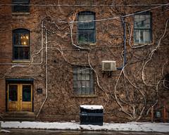Ivy Spine (Dan Fleury Photos) Tags: toronto ontario canada ca yyz street architecture old brick oldtown richardson sidewalk city cdn ivy branches creeping building