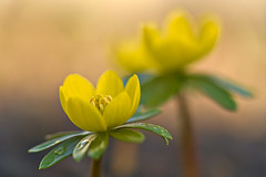 Winter Aconite (pstenzel71) Tags: blumen natur pflanzen winteraconite winterling eranthishyemalis darktable flower bokeh spring frühling