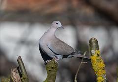 Collard Dove-5050923 (seandarcy2) Tags: birds wild garden beds uk wildlife dove collard