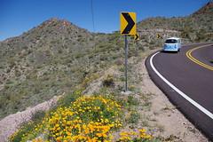 day trip to apache trail (EllenJo) Tags: arizona daytrip daytriptoapachetrail az march10 2019 ellenjo pentaxks1 march baywindowbus apachetrail vw arizona88 historicroad poppies springtime springinaz sonorandesert inbloom curve bluebus bus type2 volkswagen van baywindow saguaro poppy road