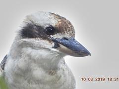 Laughing Kookaburra DSCN0132 (Mike G Gordon) Tags: laughing kookaburra coraciiformes alcedinidae dacelo novaeguineae sydney