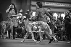 img_8510 (HoundPhotographer) Tags: irishwolfhound wolfhound hound crufts crufts2019 showdog dogshow