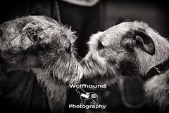 img_8774 (HoundPhotographer) Tags: irishwolfhound wolfhound hound crufts crufts2019 showdog dogshow