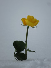Remembering (diffuse) Tags: cemetery march122019 flowers snow rose yellow
