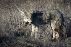 The Nisqually Diet (TW Olympia) Tags: coyote gopher nisqually