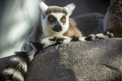 Ring Tailed Lemur (M424Photography) Tags: lemur black white orange eyes nature natural outdoors outdoor wildlife primate ring tailed