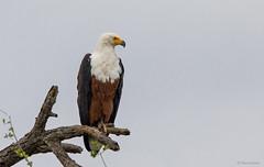 African Fish-Eagle-8867 (Theo Locher) Tags: africanfisheagle afrikaansevisarend birds haliaeetusvocifer oiseaux vogels vögel southafrica zuidafrika krugernationalpark kruger copyrighttheolocher