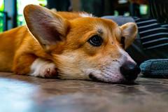 Corgi in the Garden Cafe at Bangkok, Thailand (davejunia) Tags: bangkok cafe corgi dog puppy thailand tha