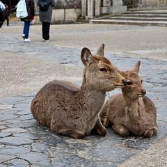 Parent-child of deer in Nara (O. Heda) Tags: deer animal nara japan 奈良 日本 動物 鹿 parent child 親子