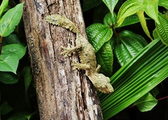 Leaf tailed Gecko Or Flat tailed Gecko (Susan Roehl) Tags: madagascar2017 islandofmadagascar offtheeastcoastofafrica peyrierasmadagascarexoticreserve leaftailedgecko flattailedgecko 8differentspecies endemictoisland primaryandsecondaryforests animal carnivore eatsinsects threatenedbyhabitatloss excellentcamouflage rodents nocturnal invertebrates preytoowlsandeagles ratsandsnakes sueroehl photographictours naturalexposures panasonic lumixdmcgh4 100400mmlens handheld slightlycropped tree leaves outdoors ngc coth5 npc