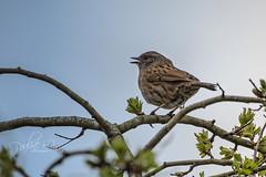 Dunnock singing (pollylew) Tags: dunnock singing wildbird spring