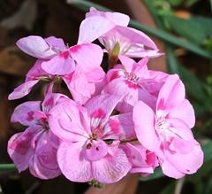 0B6A1582 (Bill Jacomet) Tags: azalea azaleas flower flowers houston tx texas 2019