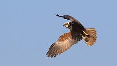 Marsh Harrier ~ Circus aeruginosus (Cosper Wosper) Tags: marshharrier circusaeruginosus hamwall somerset levels raptor bird marsh