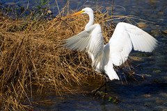 Great_Egret_08 (DonBantumPhotography.com) Tags: wildlife nature animals birds greategret donbantumcom donbantumphotographycom