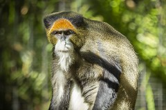 White Bearded Monkey (M424Photography) Tags: white bearded monkey orange black brown nature natural outdoors outdoor wildlife primate