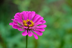 Zinnia (Sal Tinoco) Tags: backyard beautiful bloom blooming blossom flora flower flowers garden green home nature outside petal plant purple zinnia zinniaviolacea fantasticflower