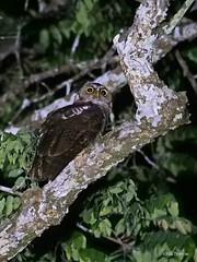 Akun Eagle-Owl Bubo leucostictus (nik.borrow) Tags: bird owl ghana
