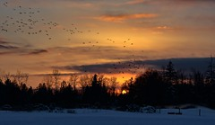 Fly away home (Christie : Colour & Light Collection) Tags: canadageese birds wildlife ducks sunset silhouette evening lowlight sundown trees snow night skylight nikkor nikkon orange dusk clouds flying fly flock flockofgeese