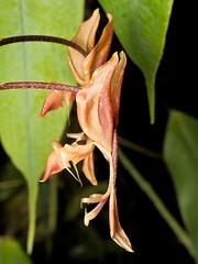 Gongora sp. (Eerika Schulz) Tags: gongora orchid orchids orchidee ecuador puyo eerika schulz boga fatima