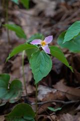 "Trilliium catesbaei (""Jones Gap"" Trillium) (jimf_29605) Tags: trilliiumcatesbaei jonesgaptrillium chestnutridgeheritagepreserve greenvillecounty southcarolina wildflowers sony a7rii 24240mm"