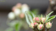 Perebloesem (Wim Zoeteman) Tags: peer pear pyrus bloesem blossom lente voorjaar spring groen green rood red wit white