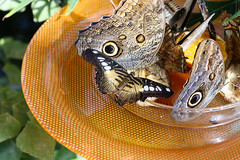 Vacances_0884 (Joanbrebo) Tags: mainau konstanz badenwürttemberg de deutschland canoneos80d eosd autofocus papallona papillon butterfly mariposa farfalle