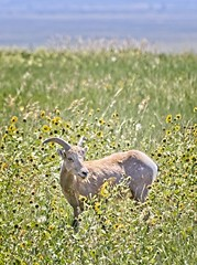 Stop to Smell the Flowers (yellocoyote) Tags: america animal bad badlands big bighorn dakota feed flower flowers grass graze green horn lands mammal meadow natl national nature np park plain plains prairie sd sheep south states summer sun united usa wild wildlife yellow