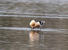 American Avocet (fethers1) Tags: belmarpark kountzelake bird shorebird americanavocet