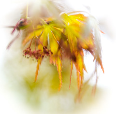 Acer leaves (judy dean) Tags: judydean 2019 lensbaby 365the2019edition 3652019 day104365 14apr19 acer leaves maple spring batsford velvet56 plants gardens arboretum