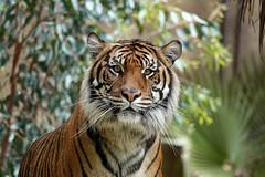 Indah (greekgal.esm) Tags: sumatrantiger tiger bigcat cat feline animal mammal carnivore indah losangeleszoo lazoo losangeles griffithpark sony rx10m4 rx10iv