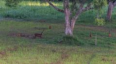 DSC_5402 (Adrian Royle) Tags: malaysia tamannegara travel holiday nature wildlife mammal deer forest outdoors nikon barkingdeer muntjac