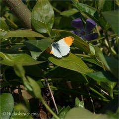 Orange tip (Huddsbirder) Tags: huddsbirder a6500 fe70300mm sony orangetip butterfly work
