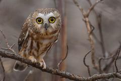 Northern Saw Whet Owl (Rob E Twoo) Tags: wilderness outdoor adventure explore ontario forest bird owl canada naturaleza nature wildlife