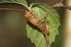 IMG_3405  Eterusia aedea formosana Jordan, 1907 茶斑蛾(蓬萊茶斑蛾) (vlee1009) Tags: 2019 60d january nantou taiwan caterpillars moths
