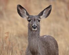 Wet one (Hammerchewer) Tags: blacktaileddeer deer animal wildlife outdoor