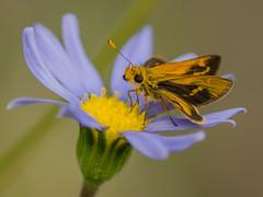 Green Grass-Dart Skipper Butterfly, Ocybadistes walker (m&em2009) Tags: skippeer butterfly insect flower flora bug nature blue yellow colour australia macro nikon petal fantasticnature