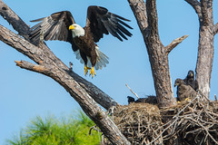 Duties done (ChicagoBob46) Tags: baldeagle eagle bird fortmyers florida nature wildlife naturethroughthelens coth5 ngc npc