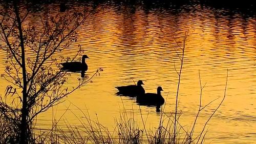 DSCN8130 oiseau aquatique 28 (cygne lac coucher de soleil jaune doré reflet ondulation) Neuville