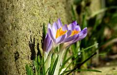 Mauerblümchen (isajachevalier) Tags: blüte blume krokus pflanze garten natur panasonicdmcfz150