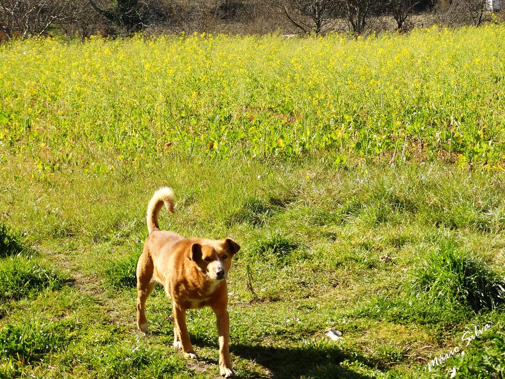 Águas Frias (Chaves) - ... o cão no meio do campo verdejante ...