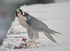 PEREGRINE FALCON (concep1941) Tags: birds raptors coasts marshes towns