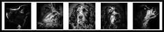 Wor Doggo Oskar (DXW1978) Tags: panasonic lumix fz80 fz82 sunlight light shadow contrast nature beauty england britain gb united kingdom uk north northern northeast durham tyne wear black white tone dog dogs springer spaniel oskar