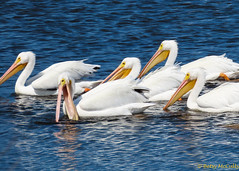 American White Pelican (Pelecanus erythrorhynchos) (Betsy McCully) Tags: floridabirds merrittnationalwildliferefuge waterbirds pelicans americanwhitepelican pelecanuserythrorhynchos