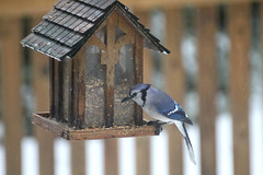 Bluejay at the feeder (karma (Karen)) Tags: baltimore maryland home backyard birds bluejay feeders fences dof bokeh texture htt hbw topf25